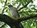 Sparrowhawk waiting for prey