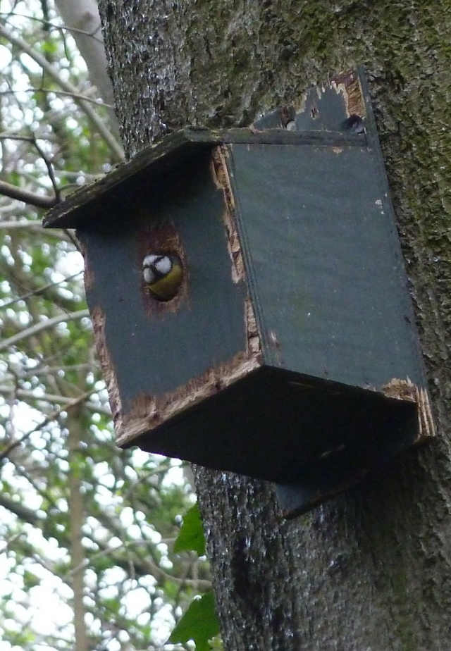 Great tit using a box